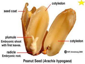 stuktur biji kacang tanah
